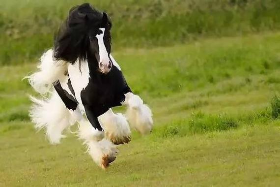 cntv5 直播_飘逸的鬓毛和蹄毛承载了美丽鬃毛 大篷车潇洒不羁的吉普赛马 ...