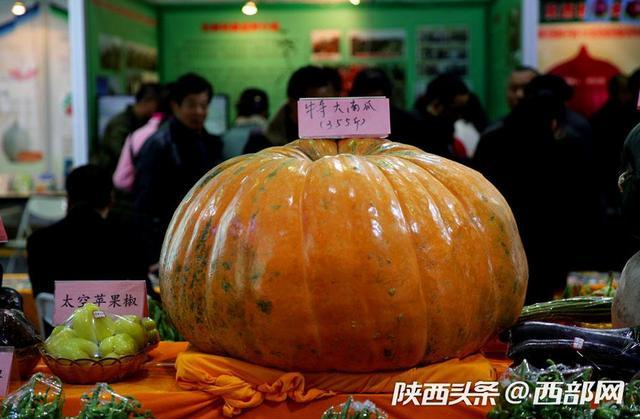 西部网讯(记者 魏永贤)杨凌农高会,A馆展出的有现代农业种业,最吸引参观者的要数航天育种展位的太空南瓜,最大的一个重达355斤,另外2个特大南瓜的重量分别为325斤,286斤。