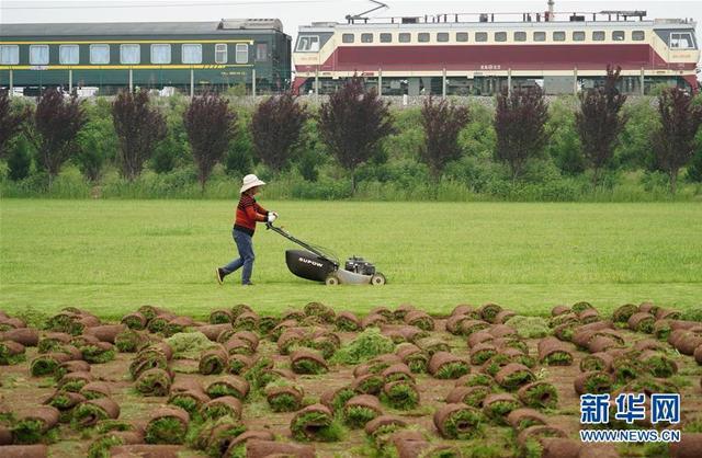 近年来,陕西省西安市长安区引镇街道紧扣城市绿化市场需求,引导农民大力发展草皮种植产业。