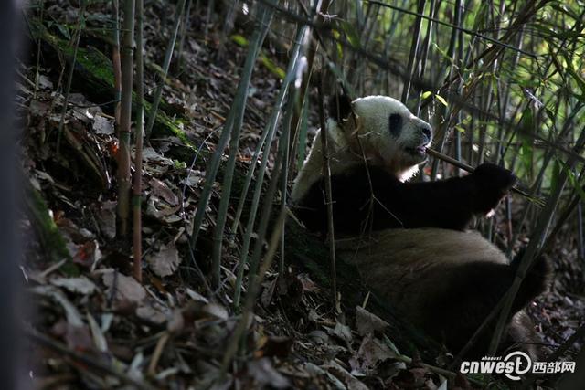 西部网讯(记者 魏永贤) 5月12日,天气晴朗,记者前往佛坪岳坝镇大古坪村三官庙拍摄农户养蜂,在路边偶遇吃竹笋的大熊猫,尽管步行10多公里,一路能见到熊猫的粪便,但没想到能如此幸运,看到野生大熊猫。