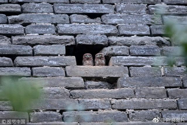 """几只呆萌的猫头鹰自""""落户""""西安""""入住""""公园古城墙以来,已成为这里的大明星,每天吸引上百""""粉丝""""围观,摄影爱好者更是架起了""""长枪短炮""""。小家伙毫不怯场,反而戏精上身,很爱摆造型。据了解,它们学名为纵纹腹小鸮(xiāo),是种体型很小的猫头鹰,属国家Ⅱ级重点保护动物。"""