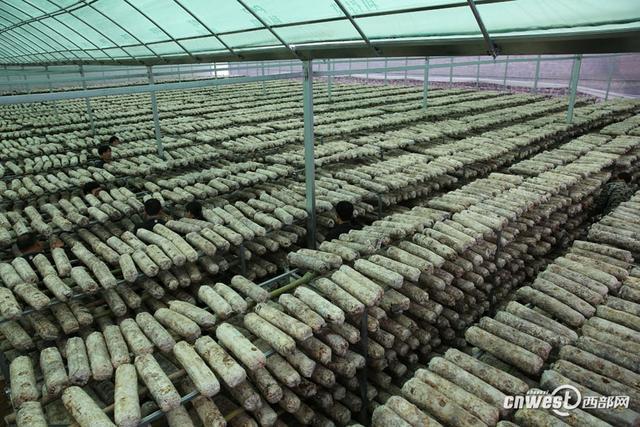 汉中佛坪县岳坝镇栗子坝村,去年已整村脱贫,为了巩固来之不易的脱贫成果,让村民利用当地的自然资源在家门口就能挣到钱,村集体经济合作社建起3600平米、能放20万袋袋料的香菇大棚。