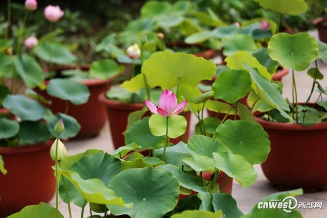 """7月7日至8月31日,西安植物园将举办""""2018年夏季花展""""活动,届时将有500余种水生植物通过塘栽、盆栽等多种形式一齐迎客,花展期间门票20元。本次西安植物园夏季花展主要集中在水景园,共计展出水生植物500余种。"""