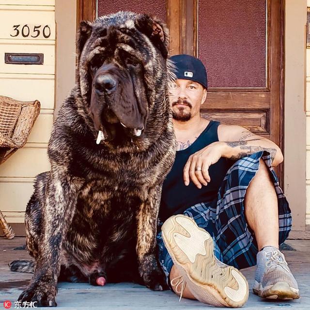"""美国男子将一种已经灭绝的犬类重新""""复活"""",培育出了堪称世界上最大的犬类。44岁的Marcus Curtis来自加州河滨,8年来,他一直想要""""复活""""公元前5千年的古老犬类马鲁索斯犬。"""