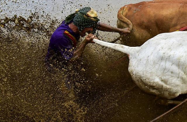 奔牛赛(Pacu Jawi)是印尼苏门答腊岛一项已有400年历史的传统节日活动,是农民在收获季后举行的比赛。在奔牛赛中,参赛者要拉紧两只牛的尾巴,在泥地中快速奔跑。