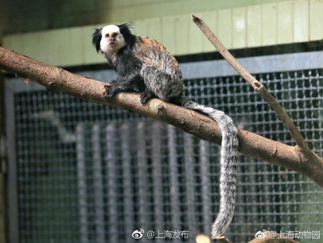 喜欢萌物的小伙伴看过来!上海动物园 里新来了一群萌宝,它们是原产于巴西的杰氏狨。杰氏狨得名于它们面部一圈厚厚的白毛,因此也称为白面狨,它们还有着胖乎乎的身体和长长的尾巴。白面狨生性机警,连饲养员进去喂食的时候,它们也会小心翼翼地躲起来。戳图看看小萌猴长啥样?