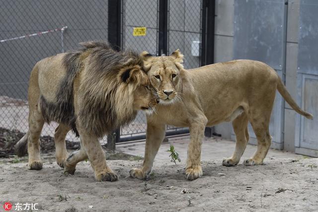 捷克布尔诺动物园,雄狮Lolek与母狮Kivu初次相见很快变打成一片,显得分外亲密。Vaclav Salek/东方IC