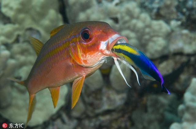 当下水拍摄的时候,摄影师尽可能与这些生物保持一两英尺的距离,最多保持六到八英尺的距离,因为有些海洋生物比较的机警。Marty Snyderman Caters/东方IC