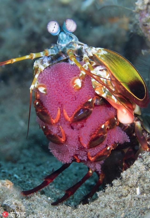 水下摄影师用一组震撼的摄影作品,展示了深海海洋生物们的独特行为。摄影师Marty Snyderman专职拍摄这些生物。为了找到这些有趣的海洋生物,Marty时常会向渔民、科学家、其他摄影师以及当地的潜水教练咨询。