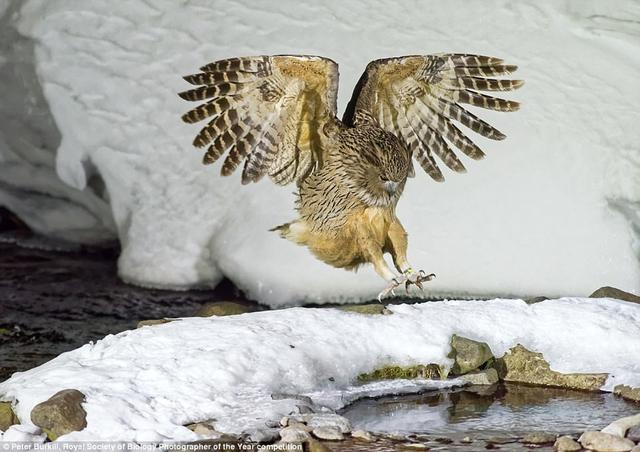 """摄影师彼特·伯基尔(Peter Burkill)在日本北海道拍摄了一组野生动物照片,图中是体形最大,也是最稀有、最濒危的猫头鹰之一,拍摄到该照片是""""计划、耐心和运气""""的结合。他使用专业照明设备拍摄到这只鸟的夜间活动。"""