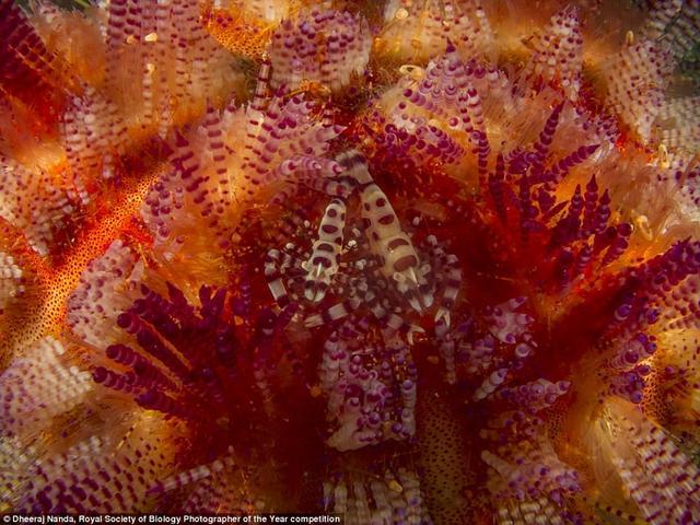 """这张图片是摄影师赫拉吉·南达(Dheeraj Nanda)在印尼安汶岛""""美丽天堂""""海域潜水时拍摄到的,它显示科尔曼虾在火海胆刺之间寻找庇所,像蜘蛛一样,科尔曼虾的雌性比雄性更大。"""