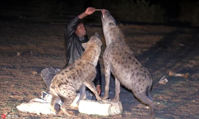 埃塞尔比亚哈勒尔,埃塞比亚男子Ahmad Yusef徒手给成群鬣狗喂食。