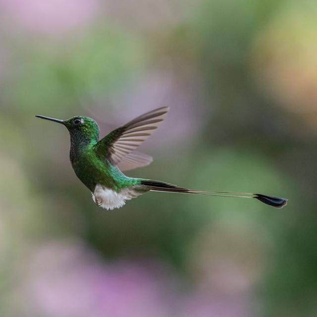 """来自日本的户外生态摄影师Kunito Imai最近来到厄瓜多尔,不远万里来捕捉这里的一种""""丛林精灵""""——蜂鸟。在此他向我们分享了抓拍这种体积极小速度很快的小动物,应该注意的方面:快门速度需要设定在1/1000秒或更快才能固定住蜂鸟的身影,1/1600秒以上最佳;建议使用100-400mm之间的焦段,300mm以上更为推荐;蜂鸟的活动轨迹比较固定,通常会多次回到同一处地点进行采蜜,守株待兔拍摄成功性较高;不要使用闪光灯,会一定程度伤害鸟儿,同时也影响蜂鸟的羽毛色泽。"""