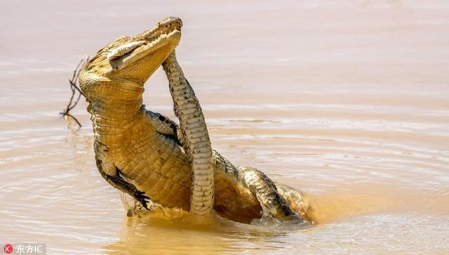 2018年5月25日报道(具体拍摄时间不详),这组图展示了一只巨鳄捕食一条剧毒拉塞尔蝰蛇的画面。图片中,这个凶猛的捕食者在水中与拉塞尔蝰蛇展开大战,它用大嘴咬住蝰蛇的头部,同时伸出爪子抓住它的身子,猛烈撕咬动作十分残暴。被捕食的拉塞尔蝰蛇也未坐以待毙,它缠住鳄鱼的身子,试图发起反攻,但以失败告终,最终成了鳄鱼的盘中餐。专利专家Rishani Gunasinghe在斯里兰卡雅拉国家公园拍到了这精彩的一幕。