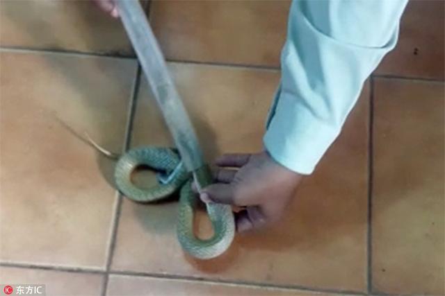 印度布巴内什瓦尔一条眼镜蛇被因为吃的太饱被卡在了下水道过滤网筛,医生只得用切割刀将牢牢套在它肚子上的钢圈。当时,这条蛇在一座寺庙吞食了一只蟾蜍,吃饱喝足后,它选择了从下水道离开。然而就在它穿过下水道过滤网筛时,悲剧发生了,吃下肚的蟾蜍还来不及消化,将它的肚皮成了个圆滚滚,可怜的眼镜蛇就这样被卡在了下水道动弹不得。幸运的是,寺庙人员及时发现了这条倒霉的蛇,请来了医生。医生用切割刀小心翼翼地剪开卡在它肚子上的钢圈,倒霉蛇终于重获自由。