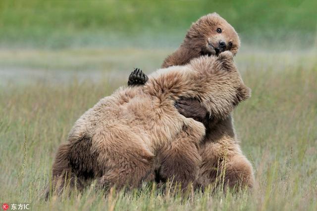 """2018年8月9日报道(具体拍摄时间不详),美国阿拉斯加州克拉克湖国家公园,两头灰熊被拍到经过持续战斗后,决定一""""抱""""泯恩仇。"""