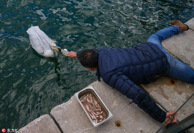 当地时间2018年12月12日,土耳其伊兹密尔,当地民众发现一只鹈鹕的喙被捕鱼网缠住,海上救援部门用鱼引诱鹈鹕上前试图解救,警觉的鹈鹕数次逃脱,随后工作人员又用捕网强制对其进行捕获。