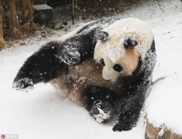 """当地时间2018年12月13日,韩国京畿道龙仁市,龙仁市当天迎来大雪天气,""""爱宝乐园""""里,旅韩大熊猫""""爱宝""""在雪地里玩得不亦乐乎。"""
