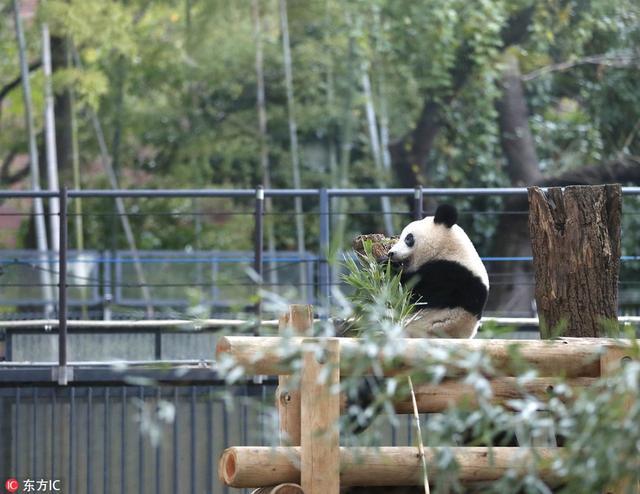 旅日大熊猫 香香 独立图片 52076 640x494