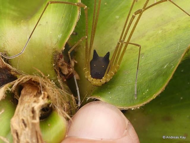 """新浪科技讯  北京时间11月9日消息,据国外媒体报道,目前,摄影师安德里亚斯o凯伊(Andreas Kay)在推特上发布一组照片,他在厄瓜多尔热带雨林中拍摄到一种奇特的蛛形纲动物,蜘蛛恐惧症患者看到之后会感到不适,并置疑它是否是蜘蛛,因为它竟然长着""""狗头""""!"""