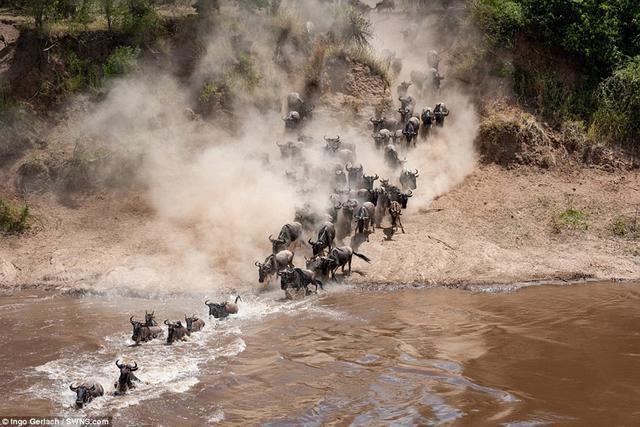 摄影师Ingo Gerlach捕捉到了非洲的年度角马大迁徙画面,角马群在凶残鳄鱼出没的河流中夺命奔跑,以躲避鳄鱼袭击,十分壮观。