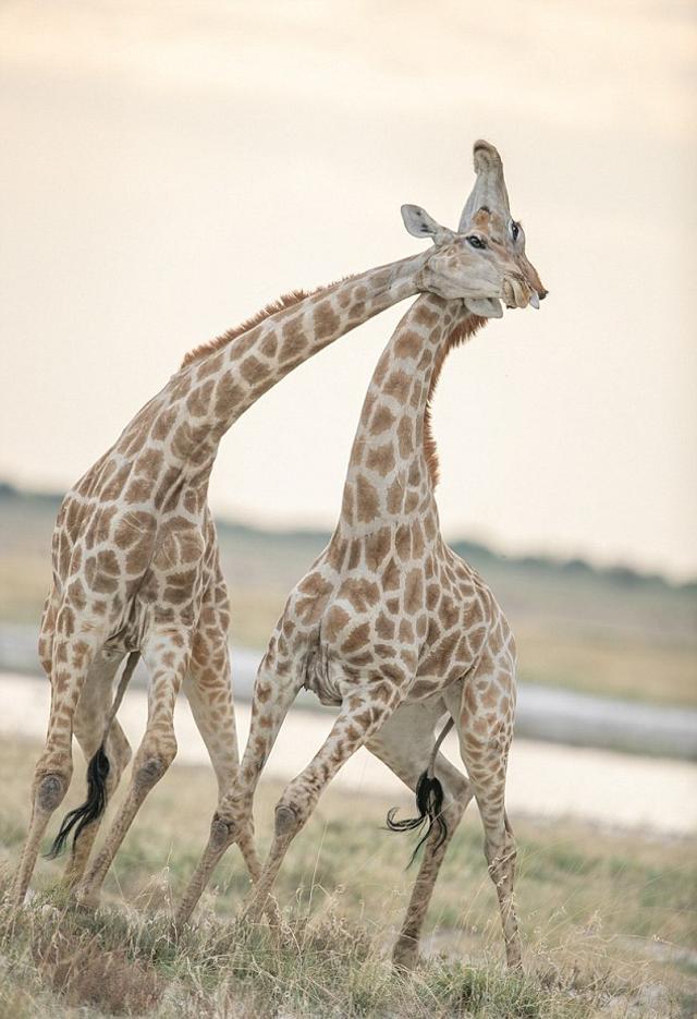 据英国《每日邮报》8月5日报道,美国一名摄影师捕捉到了纳米比亚两只长颈鹿凶悍搏斗的惊人画面——雄性长颈鹿以脖子作为武器,甩动脖子击打对手,以争夺在种群中的地位。
