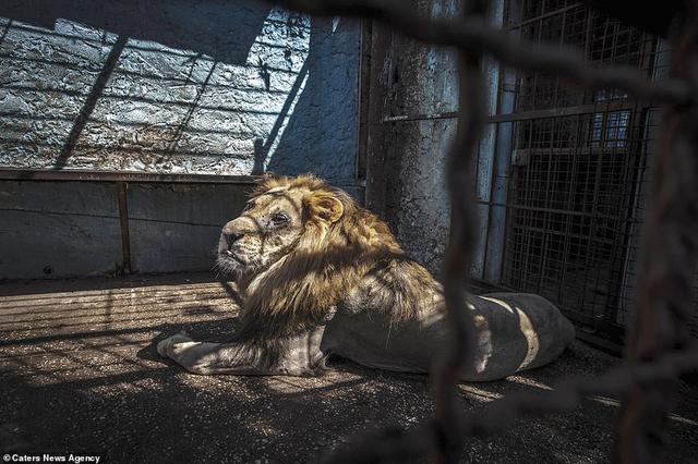 """新浪科技讯 北京时间10月30日消息,一位匿名的摄影师拍下了这张图片,希望将动物园的恶劣条件曝光于世。在媒体报道了狮子、斑马等动物在""""地狱""""动物园里的悲惨生活之后,阿尔巴尼亚旅游与环境部长Blendi Klosi下令对它们进行救助。"""