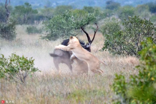 南非克鲁格国家公园,Hannes Joubert在当地游玩的时候发现了一头正在洗泥浴的牛羚,同时发现这头牛羚的还有两头饥肠辘辘的母狮。