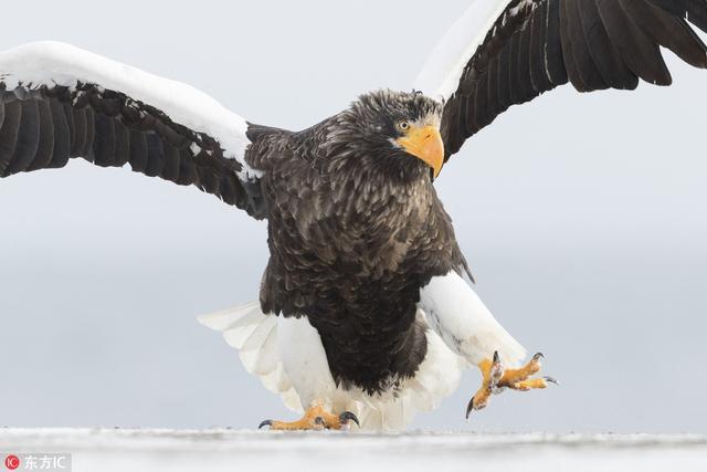 西班牙摄影师Nicolas Reusens在日本北海道游玩时邂逅了一只超级搞笑的老鹰,这货面对镜头戏精上身,大秀了一番独特的走姿。