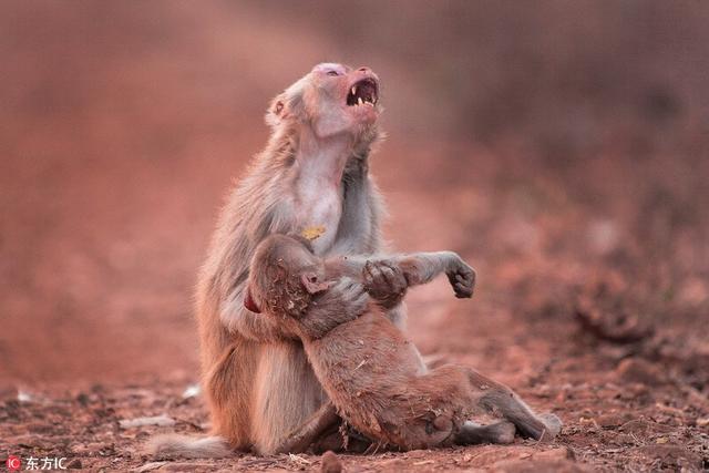 动物世界里的母爱一样伟大,真可谓舐犊情深!印度贾巴尔普尔,一只猴子似乎在搂着自己的小猴子嚎啕大哭。印度摄影师Avinash Lodhi于4月在公园拍摄下这一场景。