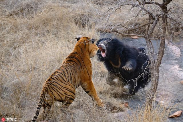 52岁的摄影师Aditya 'Dicky' Singh来自印度萨瓦伊马多普尔,这位野生动物旅游专家在伦滕波尔国家公园拍摄到了母熊大战两头狮子的精彩画面。