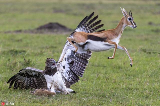 肯尼亚马赛马拉国家保护区的一只巨鹰捕获了一头瞪羚幼崽,还残忍地将小瞪羚踩在脚下,一副姿态傲人的样子。面对此景,旁边的瞪羚妈妈近乎抓狂,它慢慢靠近巨鹰,与其打斗,想要拼尽一切救出自己的孩子。 摄影师Linda Skeen在当地拍下了这组揪心的照片。