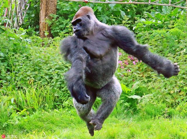 英国德文郡,看看这只翩翩起舞的大猩猩吧!它的名字叫Kionda,今年15岁,生活在佩雷顿动物园,它非常享受在围观人群面前表演芭蕾舞。看,它展开双臂,踮起脚优雅地跳起,动物园的工作人员欣喜地拍下了这一幕。