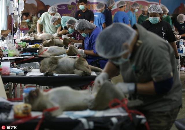 泰国班武里府华欣,兽医为猴子实施绝育手术,以控制其数量。泰国国家公园野生动植物保护部门的兽医计划对华欣筷子山寺庙(Wat Khao Takiab temple)附近的猴子数量进行控制,从14日开始对一批猴子实施绝育手术。筷子山寺庙附近有3000多只猴子,时常骚扰村民和游客。