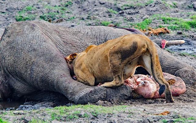 在非洲博茨瓦纳的丘比河附近,一位名叫德克o塞隆的南非野生动物摄影师在驱车寻觅野生动物的途中,接连看到巨型大象的尸体被鳄鱼群、狮子食用的阴森惨烈的景象,这让他震惊不已。德克认为这两头大象不是被捕食者猎杀的,它们可能死于河流自带的细菌感染。