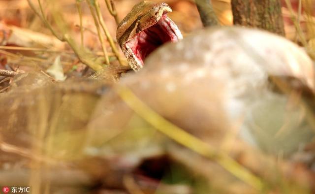 印度坎哈国家公园,野生动物摄影师Sarosh Lodhi在当地拍摄到一组蟒蛇吞食鹿的恐怖画面。这头印度岩蟒嘴巴张得大大的吞食猎到的鹿,将食物整个吞下后,又反刍食物将鹿吐了出来。Sarosh在仅4米远的地方拍摄下了这些画面。
