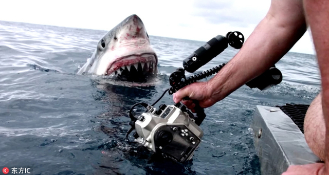 这组画面记录了来自全球各地摄影师们的共同心声:永远不要跟动物一起工作!在非洲大草原,趴地上对焦的下一秒可能会有一头猎豹探过头来偷看;在丛林中会遭遇大猩猩强抢相机;在海面上有可能直面张开血盆大口的鲨鱼... ... 对于动物摄影师们来说,野生动物拍摄真真是一场终极博弈