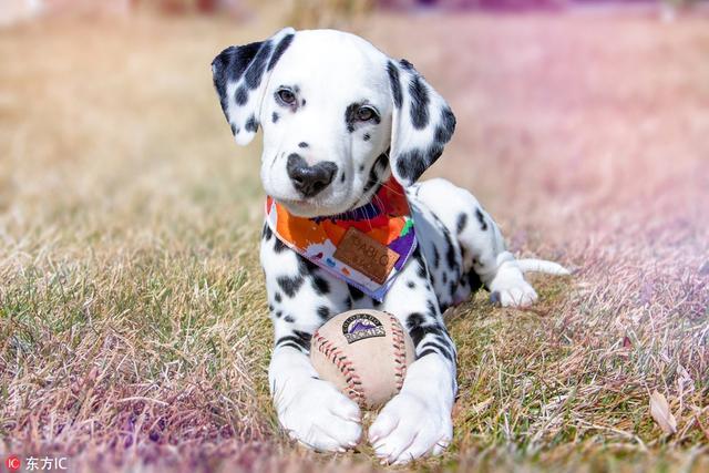 12周大的达尔马提亚幼犬Wiley,它爱心形状的鼻子简直满满都是爱。