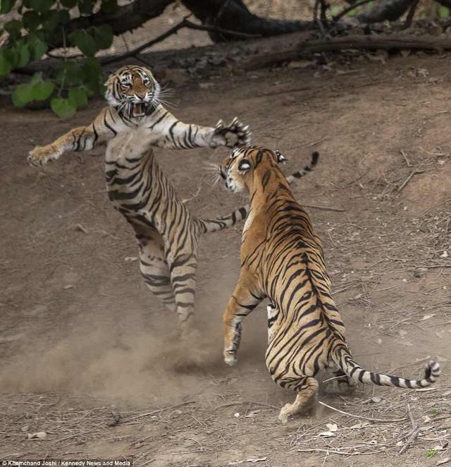 近日,印度拉贾斯坦邦伦腾波尔国家公园内的雌雄两虎为争夺领地上演了极为激烈的一幕,场面十分刺激生动。