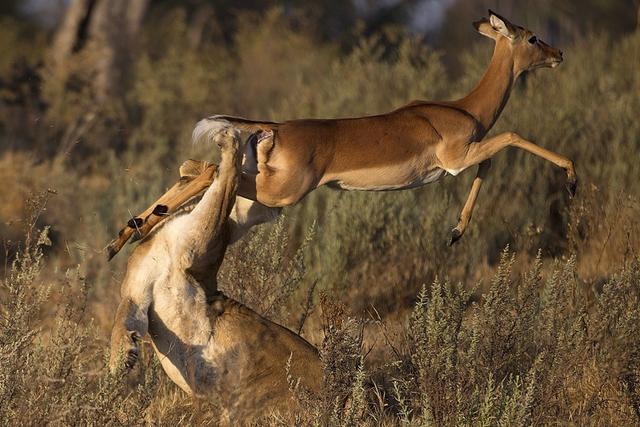 为了在残酷的自然界中生存下去,不管是捕食者,还是被捕食者,动物们每天都在战斗,磨炼出了非凡的生存技能,就连弱小的食草动物,在生死时刻也会爆发出超强的能量,与天敌殊死搏斗。