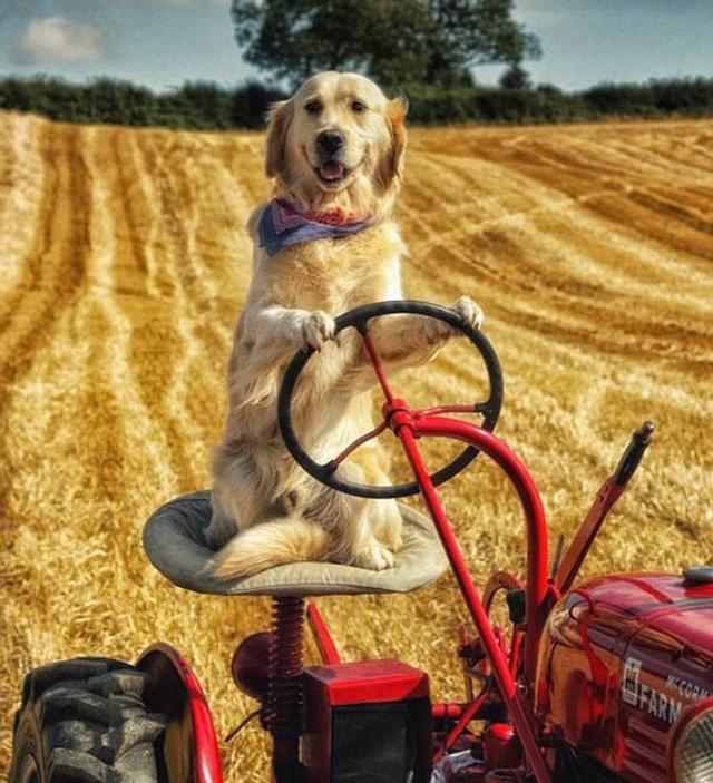 英国北爱尔兰一个农场主养了一只聪慧的金毛犬,它居然能开着拖拉机帮主人犁田割草。