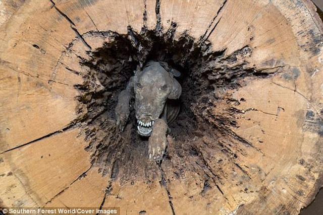 """美国乔治亚州的树木博物馆""""林木世界""""(Forest World)拥有一件稀有藏品:一只被卡在橡树树干中的木乃伊猎犬。该藏品每年吸引成千上万的游客前来参观。"""