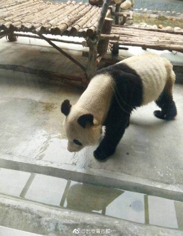 """有网友发微博称,在西安秦岭野生动物园一只大熊猫瘦到骨头清晰可见,并附有3张大熊猫的照片,照片中大熊猫看起来无精打采,体形也不是""""圆滚滚""""的样子。相关负责人表示,之所以这只大熊猫会这么瘦,是因为它在国庆之前得了牙髓炎,好几天不好好吃东西。"""