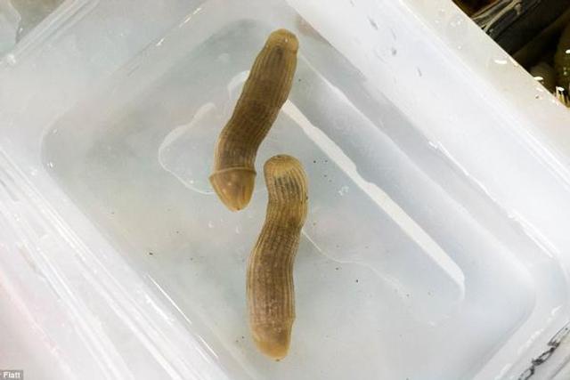 奇特海底生物:花生虫会收缩