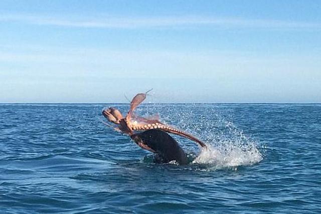巨型章鱼与海豹恶战被撕成碎片