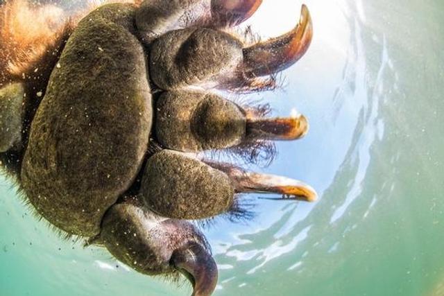 俄棕熊一家与水下照像机玩耍