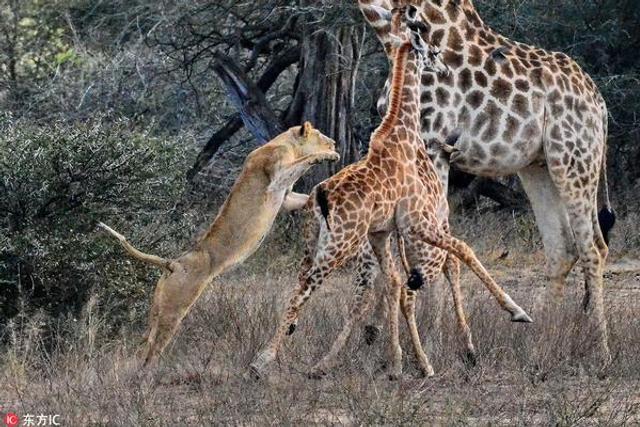 母狮猎食长颈鹿幼崽尽显本性