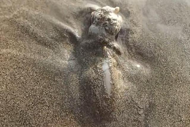 海螺吞食寄居蟹过程