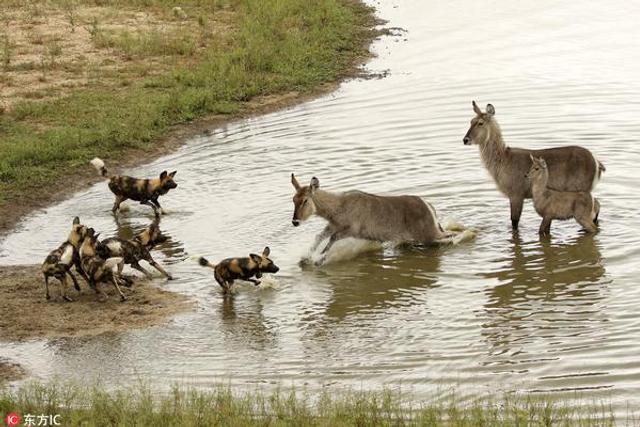 非洲羚羊三次逃脱被吃命运