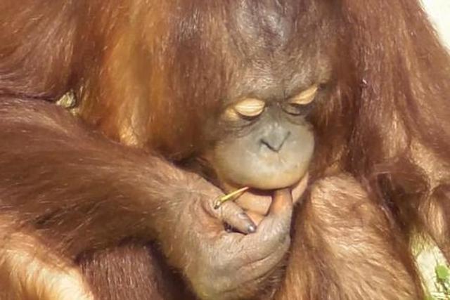 猩猩用草杆清理耳朵和肚脐